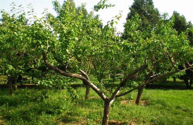 杏树育苗时间和方法