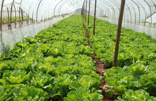 蔬菜 如何 促深根增产