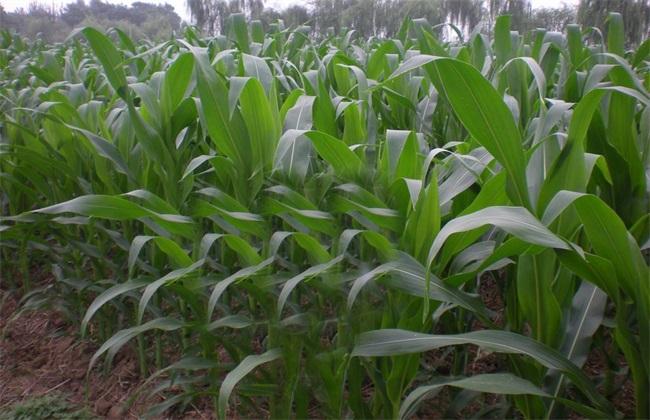 玉米大小苗 怎么回事
