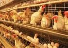 蛋鸡转群注意事项