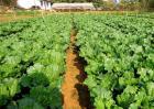 蔬菜如何促深根增产