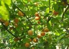 杏树春季管理要点