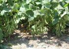 大豆重茬减产防治措施