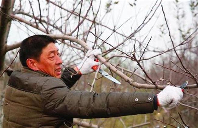 果树抽条 怎么办