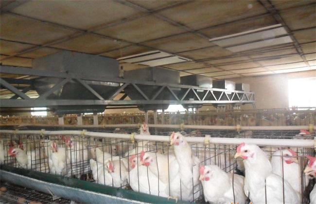 蛋鸡开产 过早过晚 危害