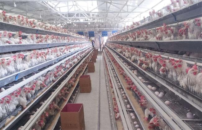 如何防止 蛋鸡过早开产