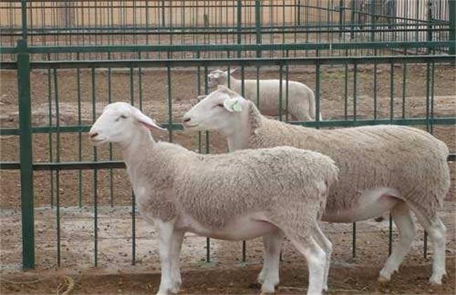 舍饲羊如何提高采食量
