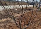 花椒树越冬管理要点