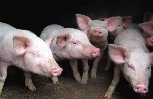 猪饲料配制常见5大误区