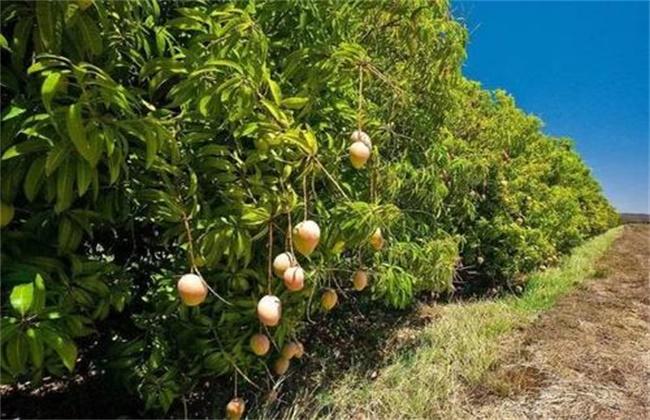 芒果冬季旺长怎么办