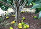 脐橙落果原因及预防措施