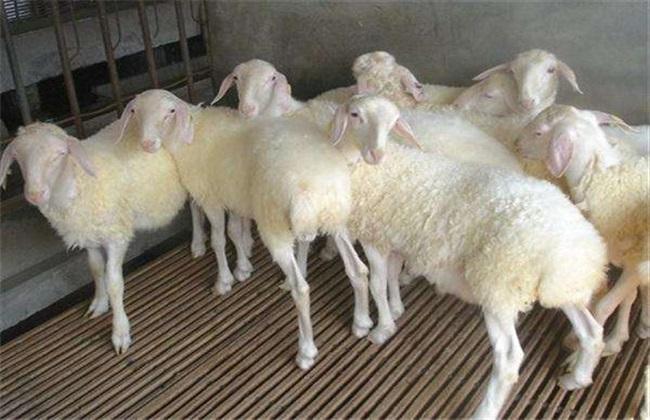 科学养羊 5大方法
