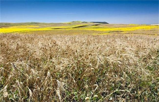 冬季小麦除草如何避免药害