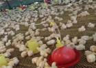 雏鸡开食过早过晚的危害