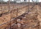 葡萄冬灌作用和方法