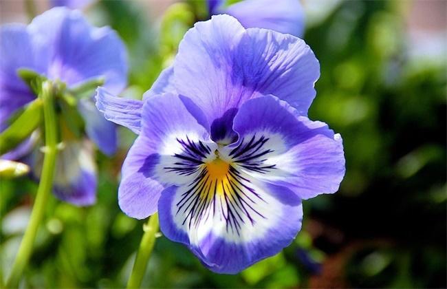 金鱼草和紫罗兰的区别