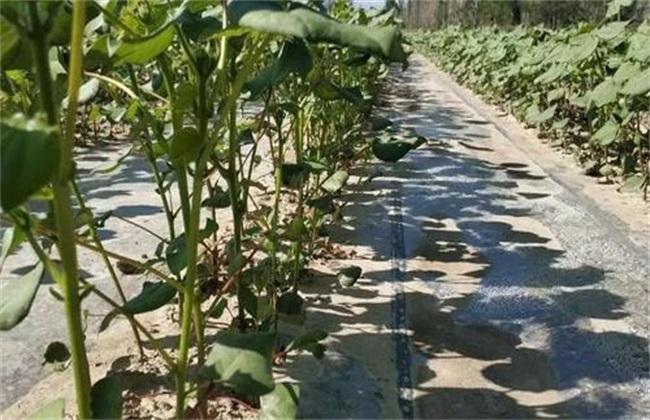 如何预防 棉花高脚苗