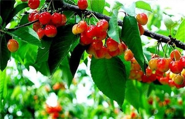 甜樱桃的施肥技术