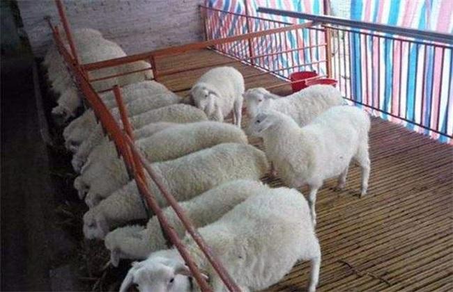 自配羊饲料 常见误区