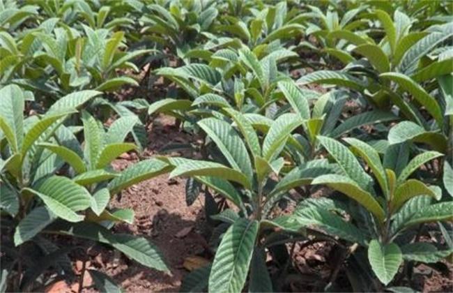 枇杷树怎么提高移栽成活率