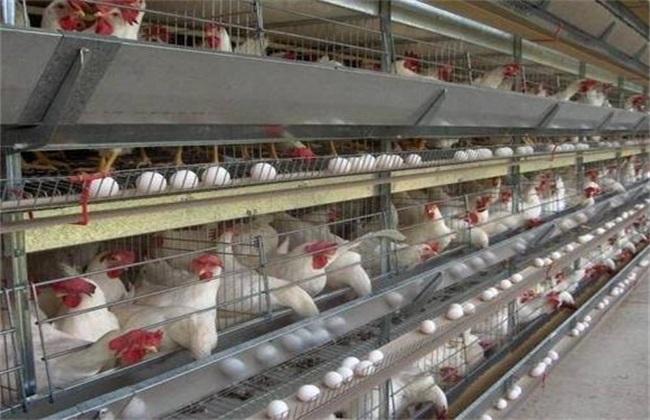 冬季养蛋鸡注意事项