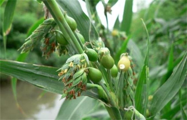 薏米种植注意事项