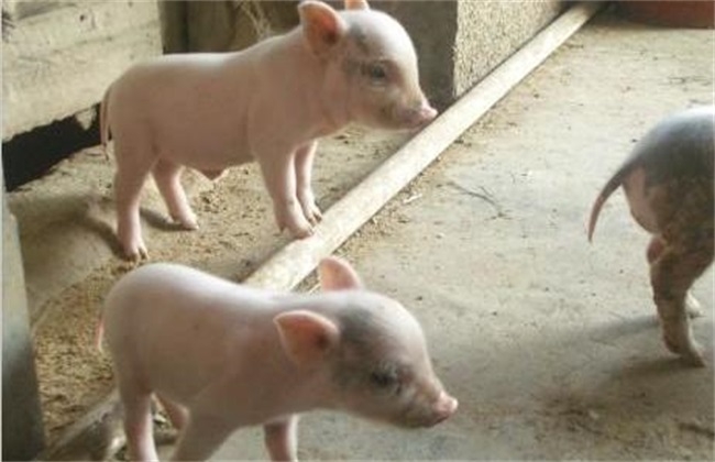 仔猪喂食教槽料有哪些好处