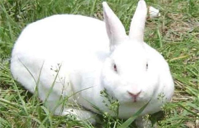 肉兔养殖风险有哪些
