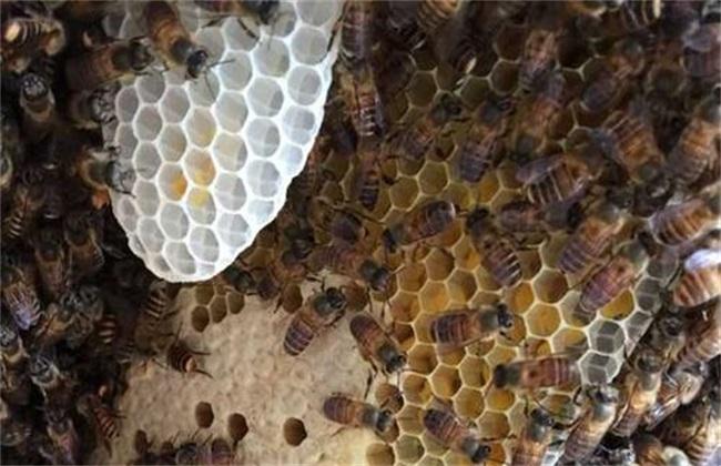 怎么让蜜蜂快速做脾
