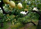 秋季梨树怎样管理