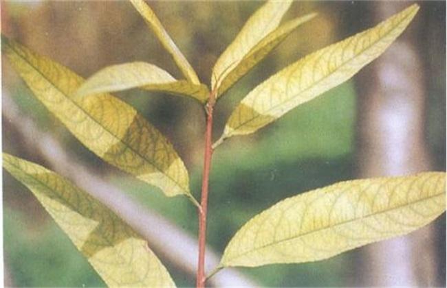 桃树缺铁症 什么表现