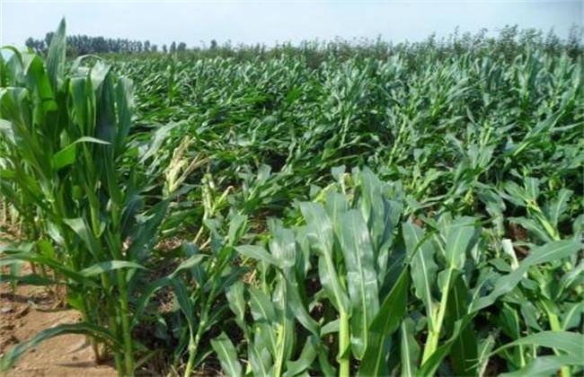 玉米 灌浆异常 咋回事