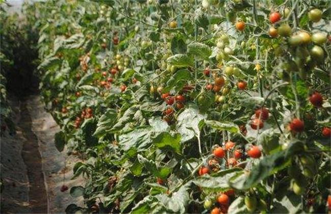 大棚种植圣女果如何提高产量