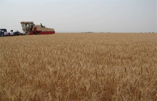 小麦 有穗无粒 什么原因