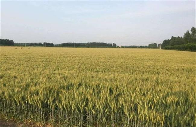 影响 小麦高产 因素