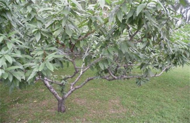 桃树缺钾 什么症状