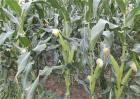玉米灌浆异常咋回事