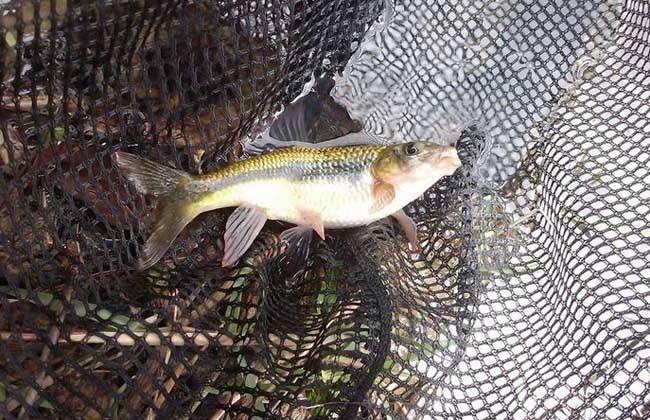 鱼种越冬死亡原因及管理措施