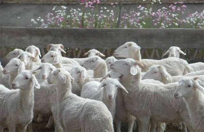 冬季养羊要注意哪些问题