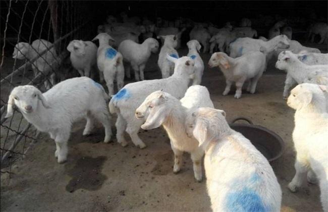 冬季养羊 注意哪些问题