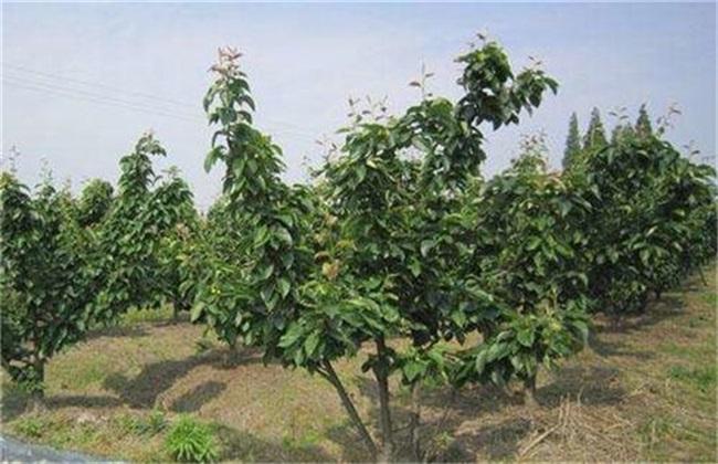 梨树大小年 原因 防治方法