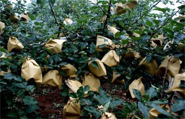 套袋苹果口感差原因及解决方法