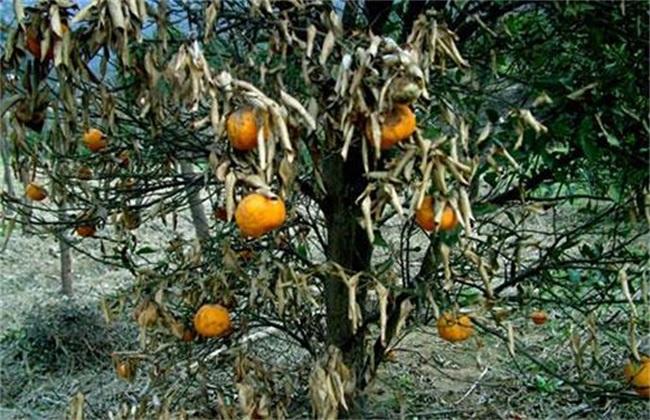 柑橘树冻害后 如何处理