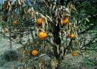 柑橘树冻害后如何处理
