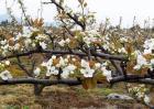 梨树如何疏花疏果