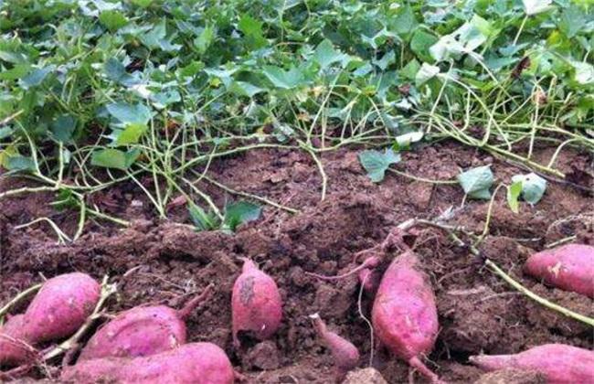 红薯后期如何施肥