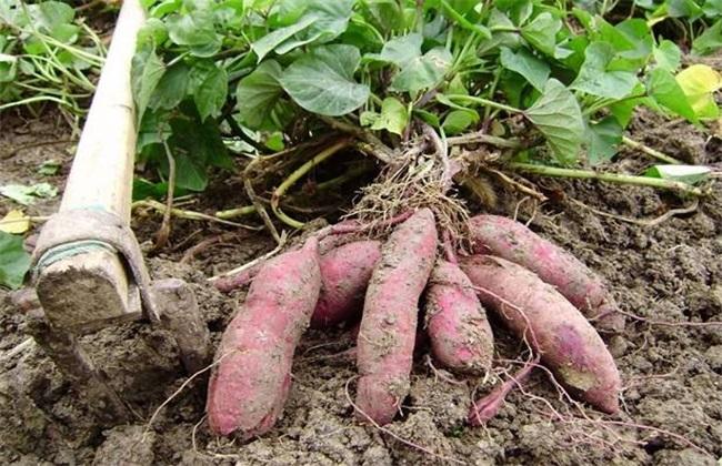 红薯后期 如何施肥