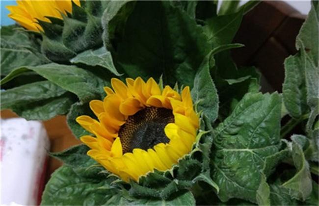 向日葵褐斑病的防治方法