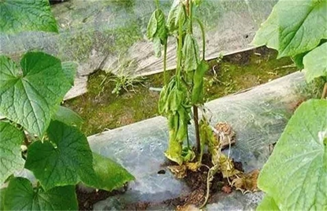 大棚蔬菜死苗解决方法