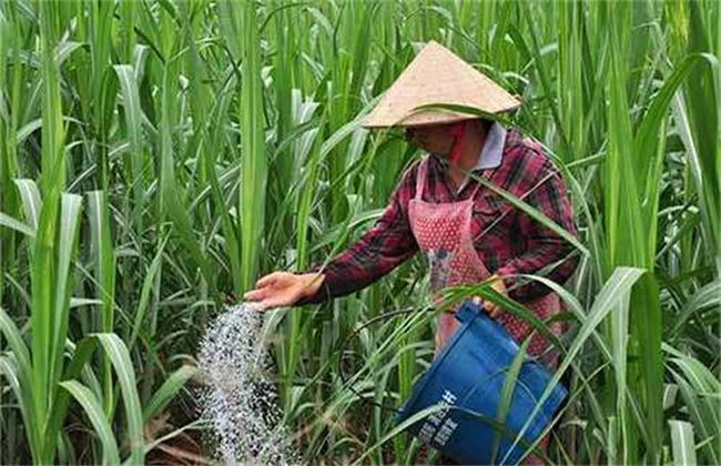 甘蔗的施肥注意事项